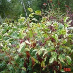 persicaria painters palet