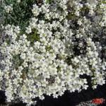 saxi-paniculata flowers