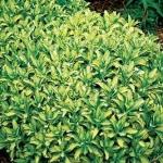sedum alboroseum mediovariegatum