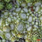 sempervivum_bascour_silver_fs