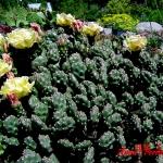 Opuntia fragilis 'Bronze Beauty'
