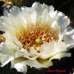 Opuntia polyacantha 'Crystal Tide'