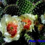 Opuntia polyacantha Crystal Tide.jpg 1