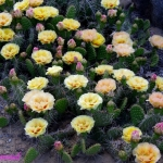 Opuntia Tutu-yellow -with- red- changing-to- peach