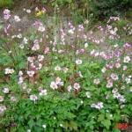 anemone japonicum
