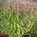 chasmantium atifolium