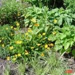 coreopsis nana
