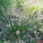 pennisetum alopecuroide