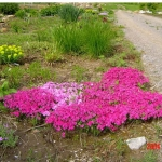 phlox subulata moss-hot pink