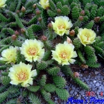 Opuntia rutila yellow