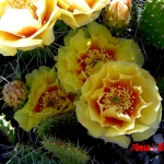 Opuntia Tutu yellow with red changing to peach