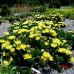 opuntia-humifiusa-yellow