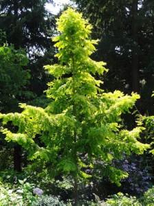 Metasequoia.glyptostroboides.Gold Rush.2