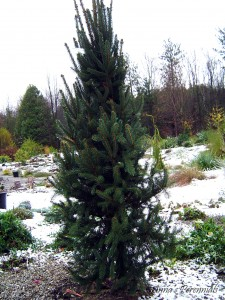Picea abies 'Cupressina' - Columnar Norway Spruce